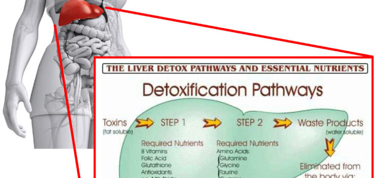 Liver Metabolism: The 3 Phases of Detoxification