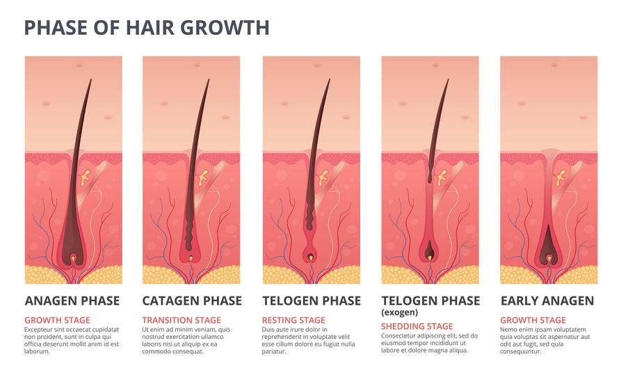 Hair Follicle Growth Phases